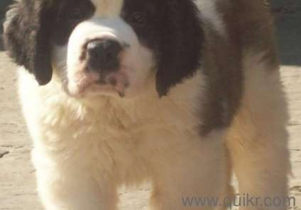 LARGE BREED SAINT BERNARD DOGS AND PUPS FOR SALEIN BEST PRICES