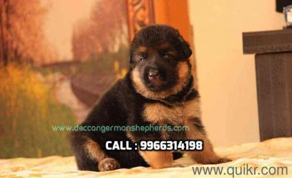 OutStanding German Shepherds from champion line available wt papers in Gachibowli, Hyderabad Pets on Hyderabad Quikr Classifieds