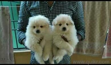 Snow White Pom puppy ( 8801109752 ) in Ameerpet, Hyderabad Pets on Hyderabad Quikr Classifieds