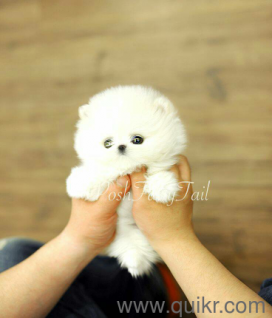Pomeranian puppies available all types of breeds puppies avable 7799432106 in Kukatpally, Hyderabad Pets on Hyderabad Quikr Classifieds