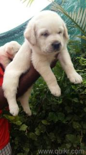 best quality Labrador puppies in Begumpet, Hyderabad Pets on Hyderabad Quikr Classifieds