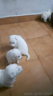 Cute adorable Pomeranian puppies for sale - Hyderabad