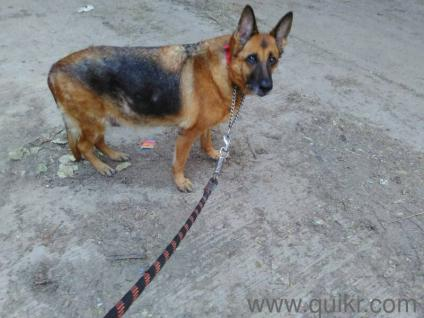 puppies walking service available in Somajiguda, Hyderabad Pet Training & Grooming on Hyderabad Quikr Classifieds