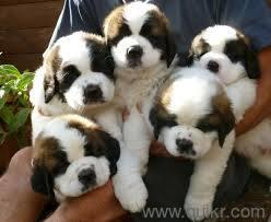 9540582990 st. bernard puppy available for sell in Trimulgherry, Hyderabad Pets on Hyderabad Quikr Classifieds
